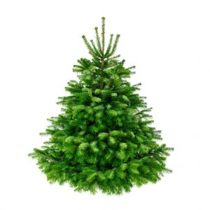 Studio shot of a fresh gorgeous fir tree in lush green for Christmas, without ornaments, isolated on pure white
